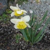 庭の水仙が咲き始めました!