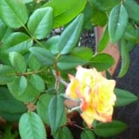 バラはやっぱり赤っぽくなりました
