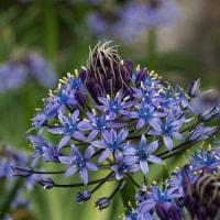 蒼紫シリーズ2 ペルーの青い星!昨年も大人気でした!