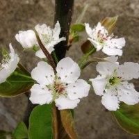 <ナシ(梨)> 枝先に桜より少し大きい純白の5弁花5~8輪