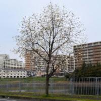 街路樹のコブシ