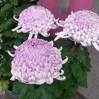 季節の花「菊」