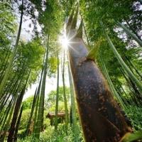 ダイヤモンド竹の子 in 赤塚植物園(超広角10ミリレンズで撮影 2017.4.29)