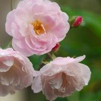 ブッシュノアゼット(四季バラ)
