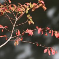 ビンズイと木の実