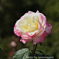 ダブル ディライト    覆輪のバラ
