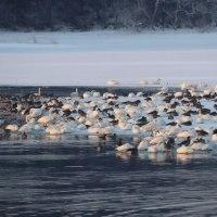 小友沼で渡り鳥たちの塒立ち