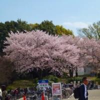 桜と太陽の塔