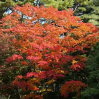 函館 湯ノ川香雪園の紅葉