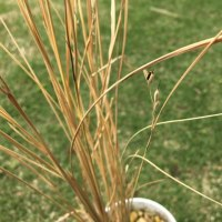 試験米の収穫。
