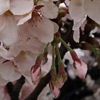 雨しずくの桜…いかがでしょう