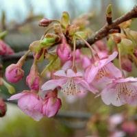 河津桜が咲くころ ~加美SORAガーデン