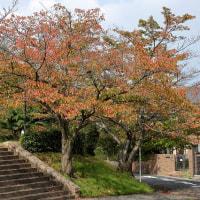 桜葉紅葉 Ⅱ~~
