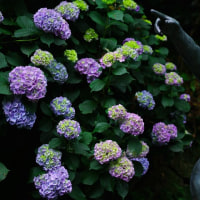 紫陽花の小径  金沢白鳥路