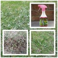 雑草がはびこって芝生の勢いがありません。