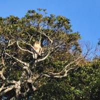 飫肥城跡の水の手門の一番高い木にチョウヒがいました。 (Photo No.13988)