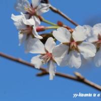 桜の満開まであと少し