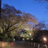 八鶴湖の夜桜がきれい~♪