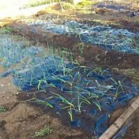 玉ねぎの植え付け(2月25日)