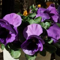 パンジー(紫色)