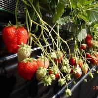 イチゴ食べ放題(千葉県成東町)