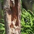 2017年7月11日 樫の木を伐りました