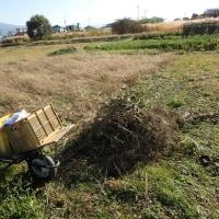 秘伝豆収穫