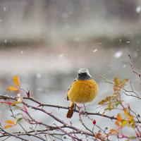 雪の日のジョウビタキ♂…
