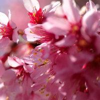 福岡市 警固神社の梅の花は・・寒桜でした。