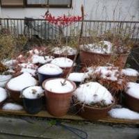 雪降りましたよ。