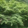 冠嶽神社・新緑、青もみじ(鹿児島県いちき串木野市)