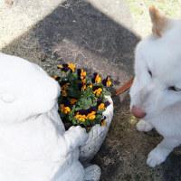庭のケショウザクラ