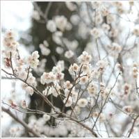山に咲く白梅