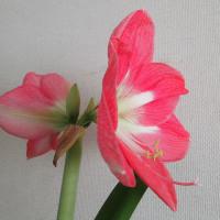 アマリリスが咲きだした