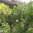 ローリエの伐採