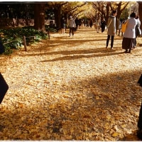 神宮外苑の銀杏並木