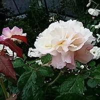 雨の日は香り立つ