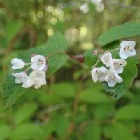 天照教付近の植物:オトコヨウゾメの花