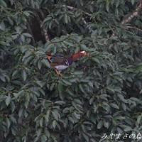 今日の鳥コレクション・・・オシドリ