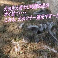 私の頭も梅雨時期、更新中~・・・(ブログ)男梅うめぇ~犬毛のポイ捨て、マナー違反!