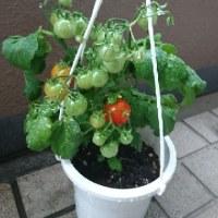 今年初~モカと一緒にプチトマトの収穫を🍅