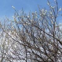 ウメの開花時期