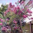 庭のサルスベリ