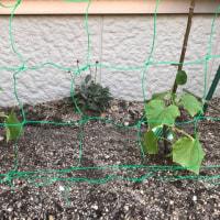 苗を植えました