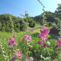 茨城県北2017年梅雨の山間の風景・・タチアオイ咲く