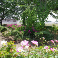 長福寺の芍薬