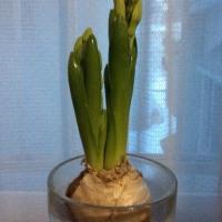 今年も咲きました、ヒヤシンス。