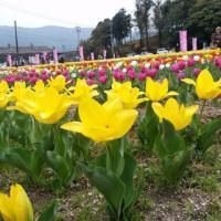 4月9日(日)のつぶやき 地元 早良区 内野 第8回チューリップ祭り 福岡市早良区 二万五千本 満開のチューリップ 豚汁 かしわめし