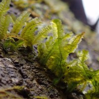 渓谷のコケ:幹にびっしりとついているリボンゴケ