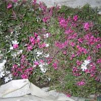 田舎に行って畑の雑草を取りました 芝桜の苗を貰って来た